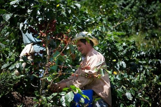 Beim Pflücken der Kaffeekirschen: manuelle Arbeit, um die besten Kirschen zu erwischen!