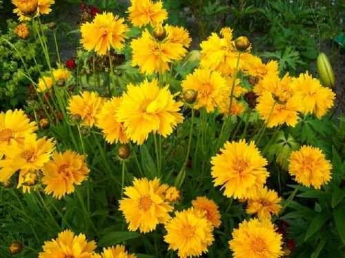 Nachylek Wielkokwiatowy Andiamo Yellow