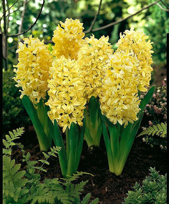 Hyacinthus Orientalis 39 Yellow Queen 39 Flowers Pinterest