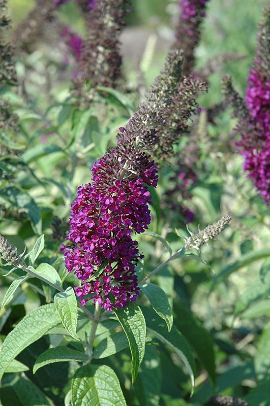 Find Guinevere Butterfly Bush Buddleia Davidii Guinevere In Philadelphia Bucks County Montgomery Harleysville Pennsy Butterfly Bush Plants Perennial Plants