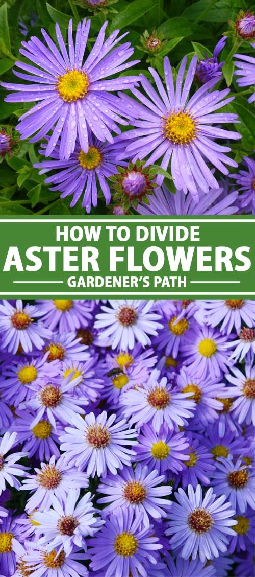 When And How To Divide Perennial Asters Gardener S Path In 2020 Perennials Aster Flower Aster