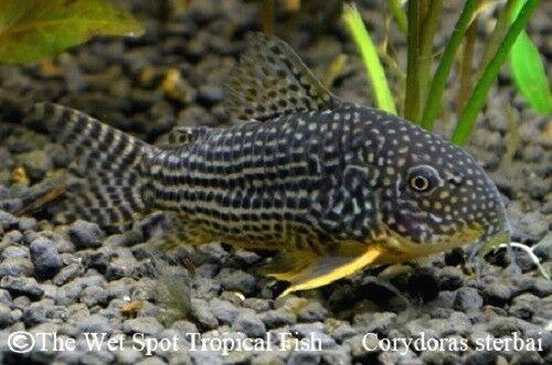 Sterba S Cory Tank Raised Corydoras Sterbai Aquariumfreshwaterfishanimals Aquarium Fish Pet Fish Tropical Fish Aquarium