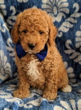 Gordy Mini Goldendoodle Puppy For Sale In Rising Sun Md