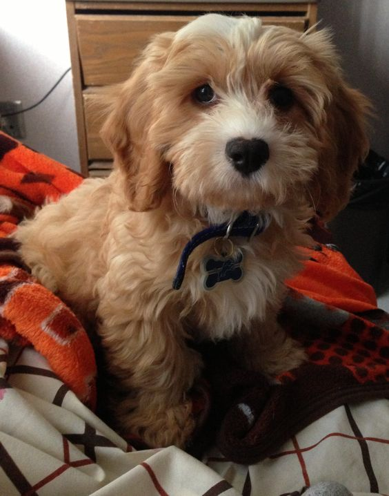 Cavapoo puppy= love Puppy Time Pinterest Love
