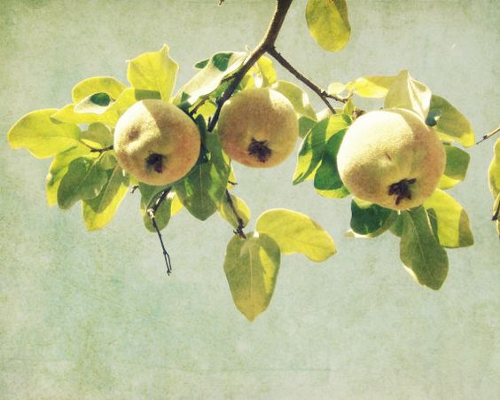 Yellow Green Wall Art Fruit Tree Yellow Quince by LupenGrainne: