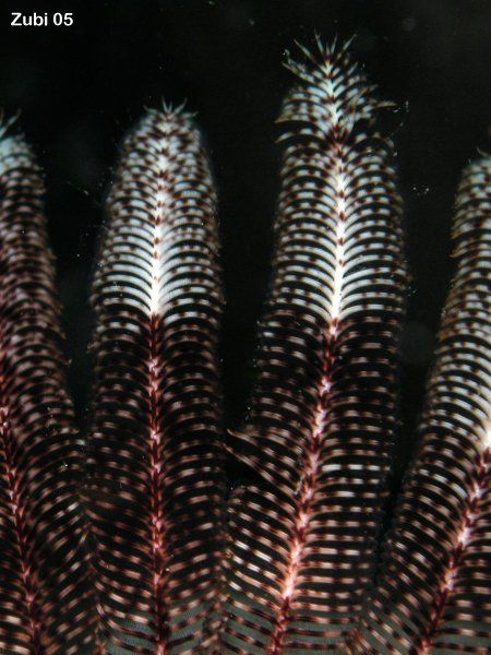 Dichrometra-flagellata