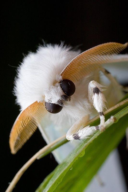 Eine Andere Susse Und Flauschige Motte Andere Arthropodsactivity Arthropodsa Andere Arthropodsa Arthropo Tiere Insekten Fotografie Seltsame Kreaturen