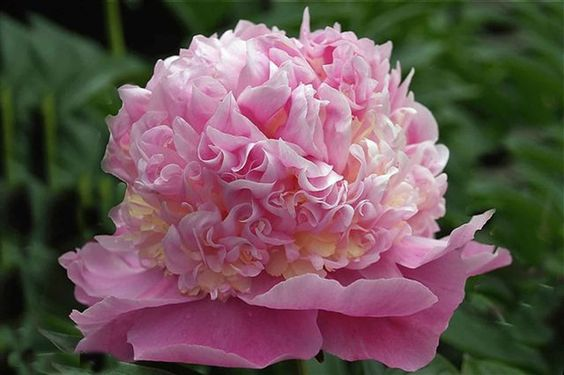 Пионы - Цветы КБР