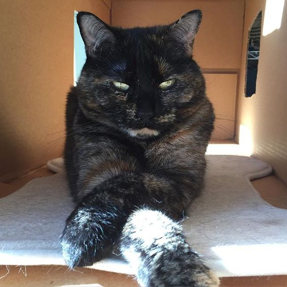 """""""Don't you dare enter my box!"""" Olive says. #cat #cats #catastic #catsofinstagram #purrfectpawsies #tortie"""