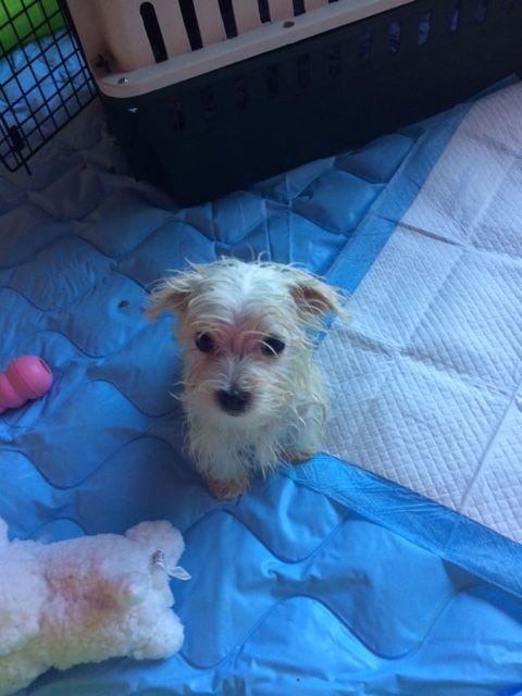 Maltese Puppy For Sale In San Jose Ca Adn 60899 On Puppyfinder