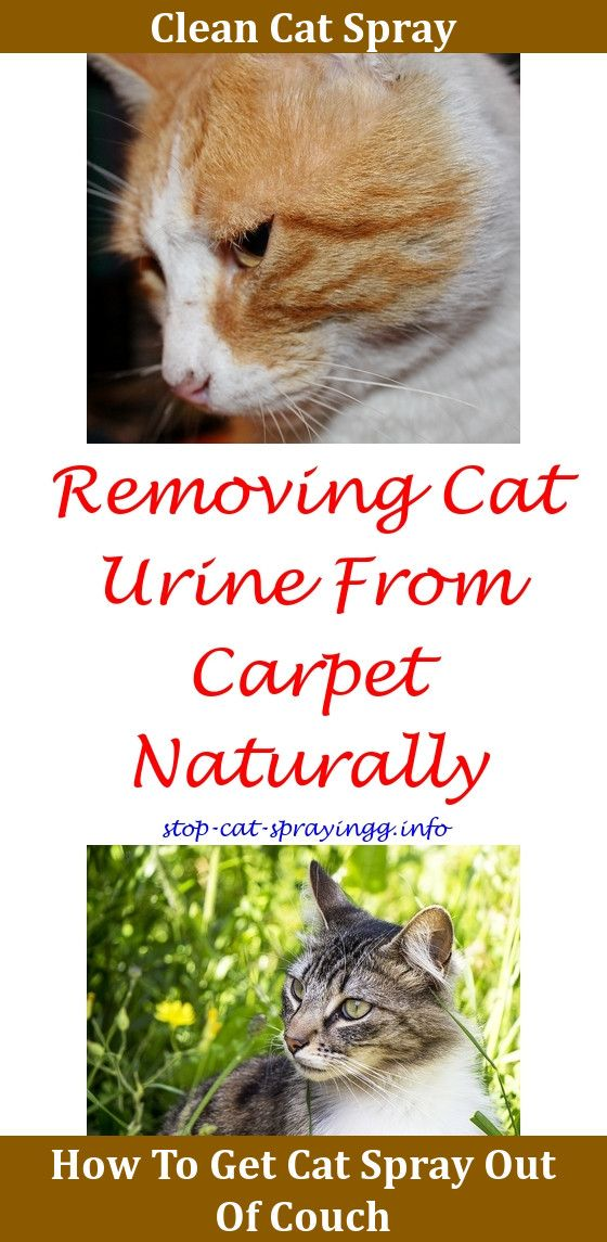 Cat Pee Out Of Carpet How To Get Male Cat Spraying Cats Flea Spray For Cats
