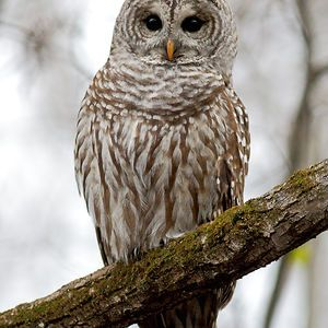 Barred Owl, Québec City.
