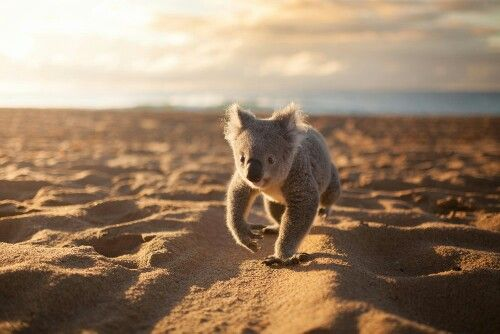 People who were walking along Stanwell Park beach earlier this week were treated to a special sight (apart from the magical sunrise!) - James the koala from Symbio Wildlife Parkstrolling along the sand.