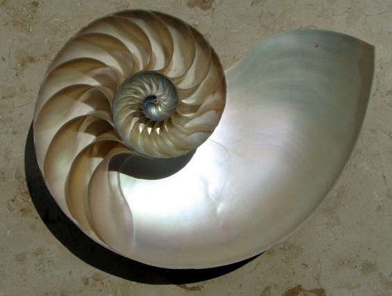 Nautilus shell cut away, logarithmic spiral, a mouthful.