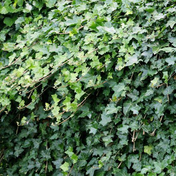 Lierre grimpant (Hedera helix) ==> https://fr.wikipedia.org/wiki/Lierre_grimpant - Contrairement aux idées reçues le lierre n'abîme pas les murs, au contraire, il protège la pierre des dégradations dues aux intempéries. De plus, il joue le rôle de climatiseur en couvrant les murs d'une habitation ==> http://www.newsjardintv.com/question-du-jour/LE-LIERRE-ABIME-T-IL-LES-MURS.html