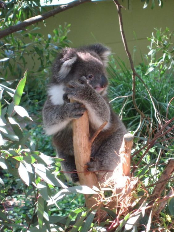 The Koala bear is the animal in Australia, there are two types of Koalas: Koalas Koalas southern and northern.