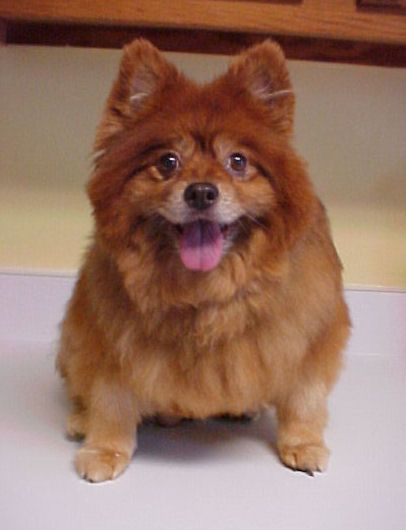 chow chow pomeranian mix cookie pomeranian chow chow mix senior female 8571