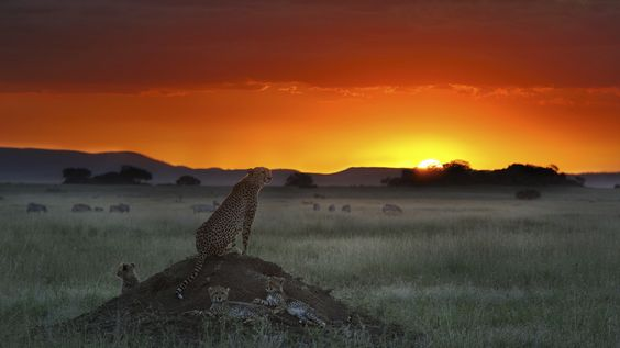 cheetah, elevation, sitting - http://www.wallpapers4u.org/cheetah-elevation-sitting/