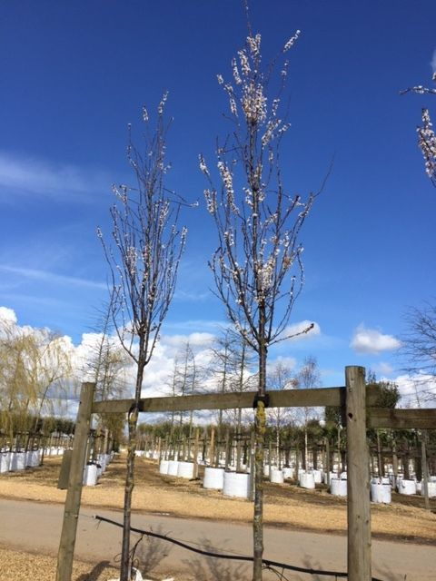 Prunus cerasifera nigra just starting to blossom #spring #bluesky http://www.barchampro.co.uk/trees-for-sale/buy-cherry-plum-prunus-cerasifera-nigra