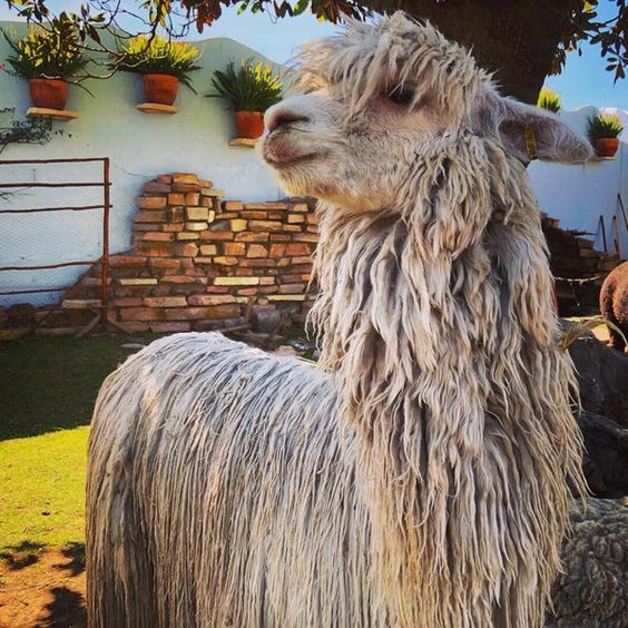 Mundo Alpaca in Arequipa is a great place to see alpacas up close while exploring all the kinds of products made from their wool.