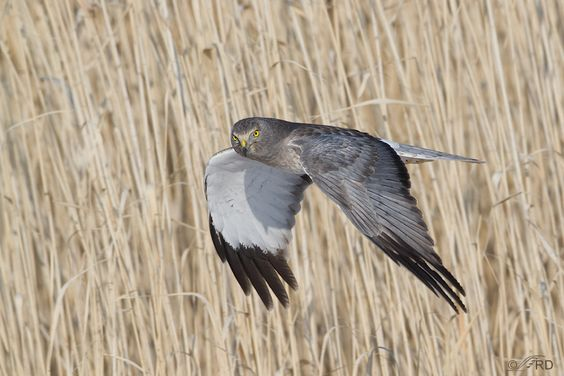 Male Northern Harrier by Ron Dudley