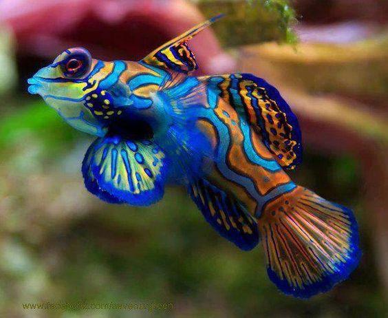 Beautiful Mandarin Halacska..The fish is native to Pacific from Ryukyu Islands south to Australia