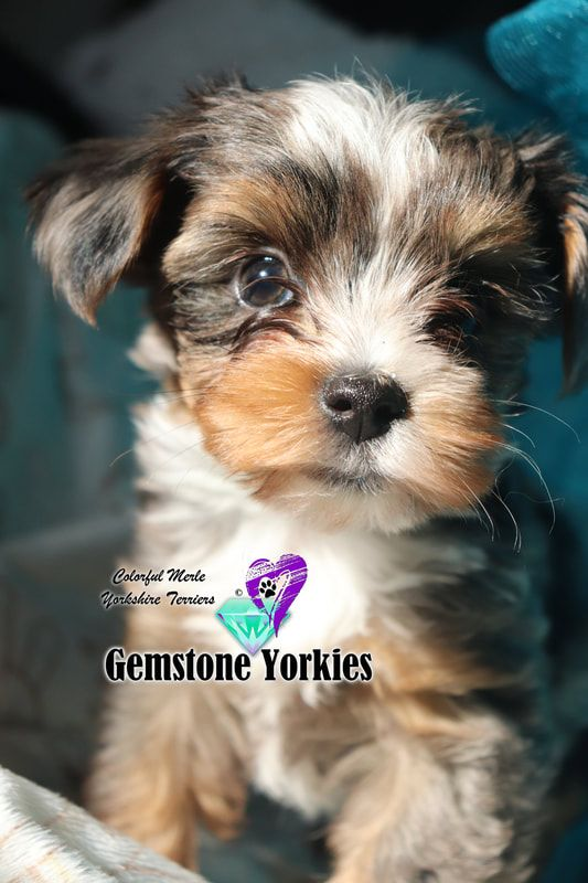 Pin On Yorkie Puppy