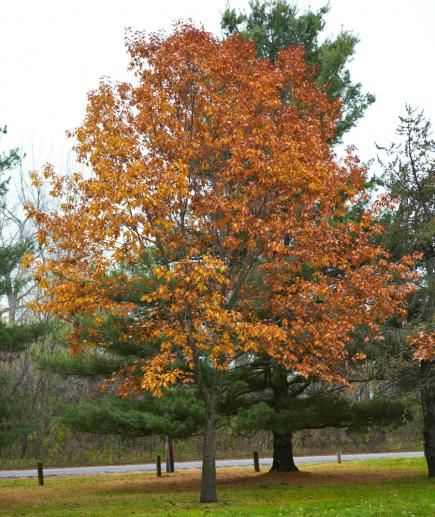 Trees garden ideas and red oak tree on pinterest for Ornamental trees that grow in shade