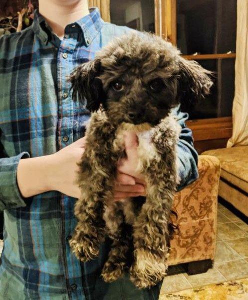 Poodle Dog For Adoption In Sanford North Carolina Kringle In