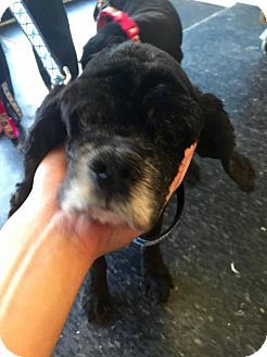 Senior! Special Needs! Nearly Blind! Pictures of Mia a Cocker Spaniel for adoption in Flushing, NY who needs a loving home.