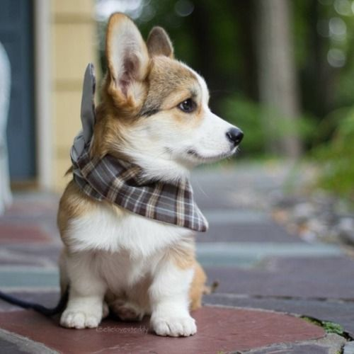Pin By A Diebold On Corgis Cute Animals Cute Dogs Dogs