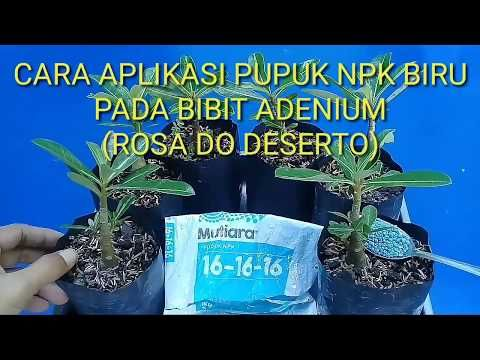 Cara Menggunakan Pupuk Npk Untuk Bibit Adenium How To Use Npk Fertilizer For Adenium Seedlings Youtube Rosa Do Deserto Deserto