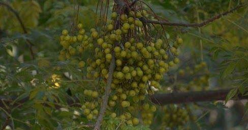 شجرة النيم فوائد واستخدامات تحتوي شجرة النيم على مواد كيميائية تمنحها خصائص صحية تجعلها تساهم فس علاج امراض عدة منها السكر البواسير Grapes Fruit Health