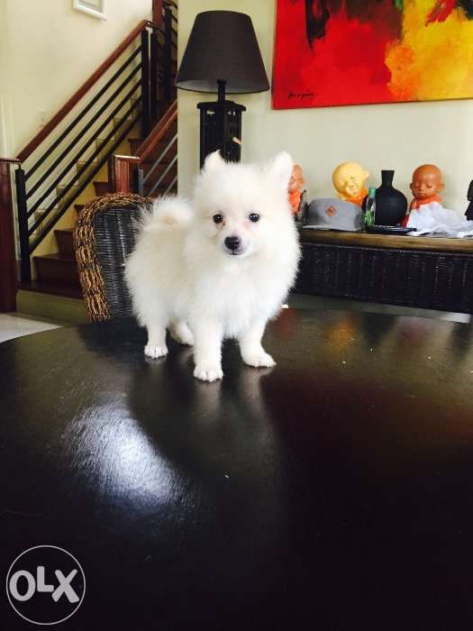 Pomeranian Pups For Sale Philippines Find New And Used
