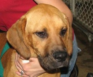 Corwin is an adoptable Labrador Retriever Dog in Paris, KY. Meet Corwin! He is 4 to 4 months old (as of 53). He came to us as a stray with his sister Becky. They look to be Labrador Retriever/Great Da...