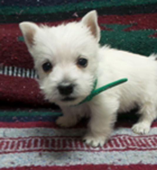 Puppies For Sale West Highland White Terrier Westie West