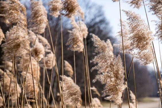 Schilfgras - Reed by ralfkai41