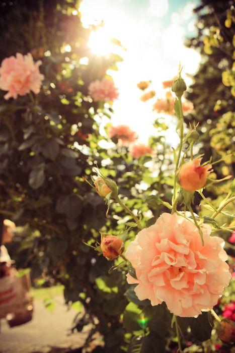 rose garden www.redcouchphoto.com