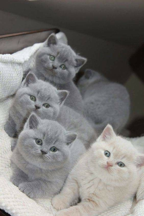 Cute Cats Image By Itzy Rose On Cute Kittens Cutest Beautiful Cats