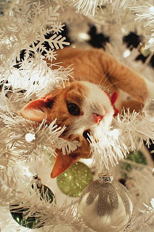 .Christmas kitty curiosity.