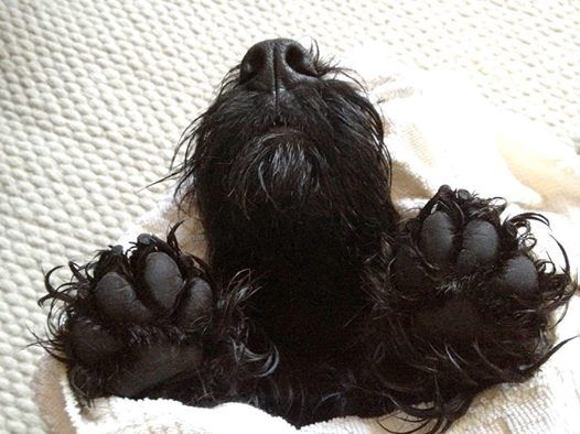 wonderful, fat scottie paws