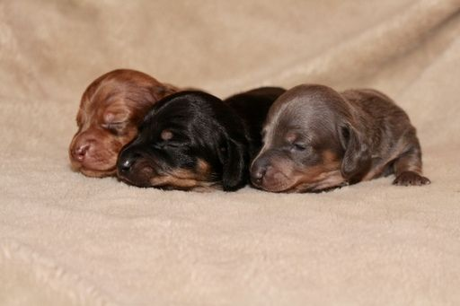Litter Of 3 Dachshund Puppies For Sale In Shingle Springs Ca Adn 60176 On Puppyfinder Com Gende Dachshund Puppies For Sale Dachshund Puppies Puppies For Sale