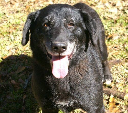 Adopt Betty 9 On Petfinder Black Labrador Retriever Black Labrador Labrador Retriever Mix