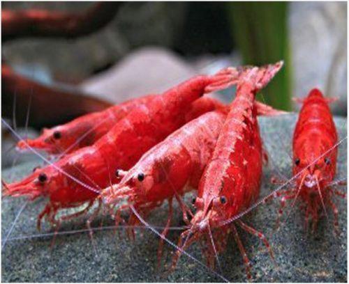 Freshwater Red Cherry Shrimp For Sale At Arizona Aquatic Gardens Cherry Shrimp Red Cherry Shrimp Shrimp