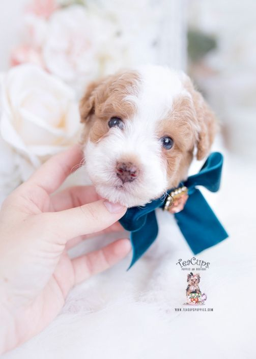 Red Pied Poodle Puppy For Sale Teacup Puppies 222 A In 2020 Teacup Puppies Teacup Puppies For Sale Poodle Puppy