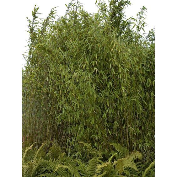 "Garten-Bambus ""Jumbo"" Höhe 100 cm - 125 cm Wurzelballen Fargesia murielae"