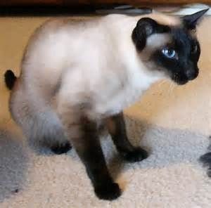 Applehead Siamese Cats - Bing Images