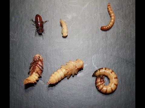 Diy Quick Easy Cheap Mealworm Farm Update Clean Up Information Meal Worms Meal Worms Raising Mealworm Farm