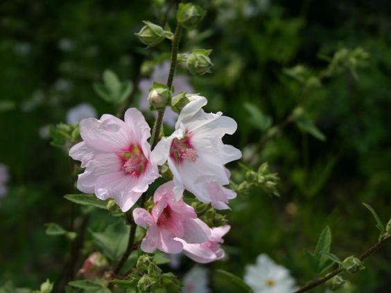 Buschmalve 'Barnsley' - Lavatera x olbia 'Barnsley'