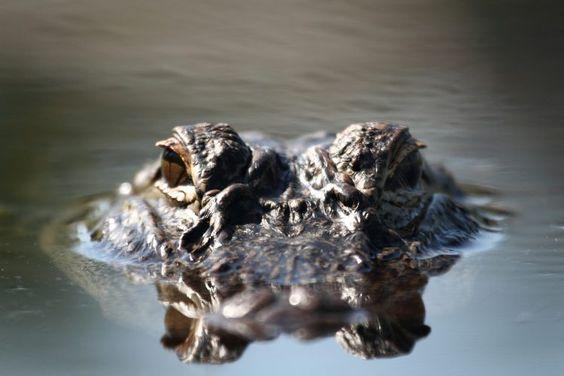 OdySea Aquarium to Welcome Mighty Mike, America's Biggest Alligator - Nightlife